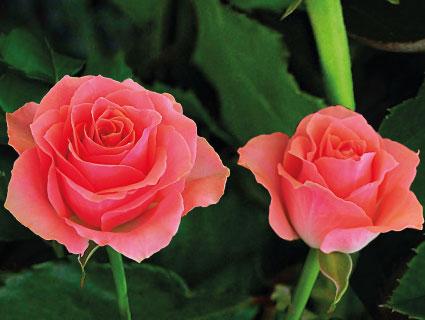 Ace Pink Rosebud Limited