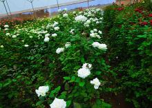 Akito Flowers