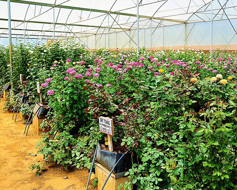 Rosebud Quality Testing