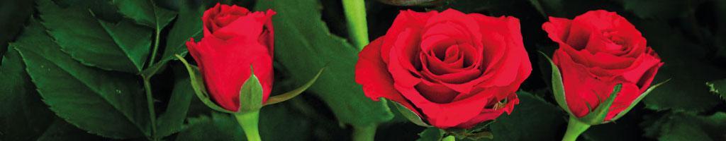 Rosebud Valentino